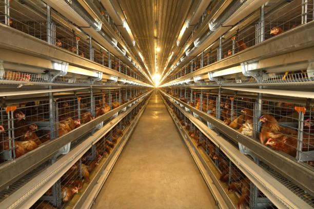 チキンの農場 ストックフォト