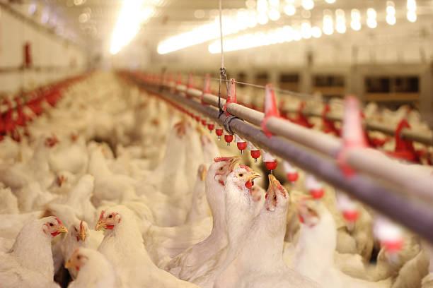 Ferme de poulet, de volaille - Photo