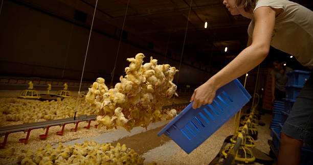 Poulet Ouvrier agricole - Photo