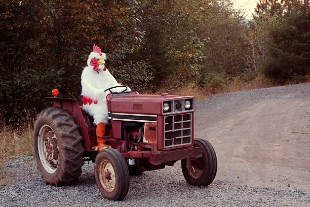 Chicken Farmer on a Tractor stock photo