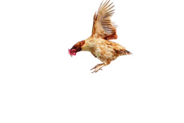 Chicken flies on a white background, cock spreading on the air. Chicken flies on a white background, cock spreading on the air. hen stock pictures, royalty-free photos & images