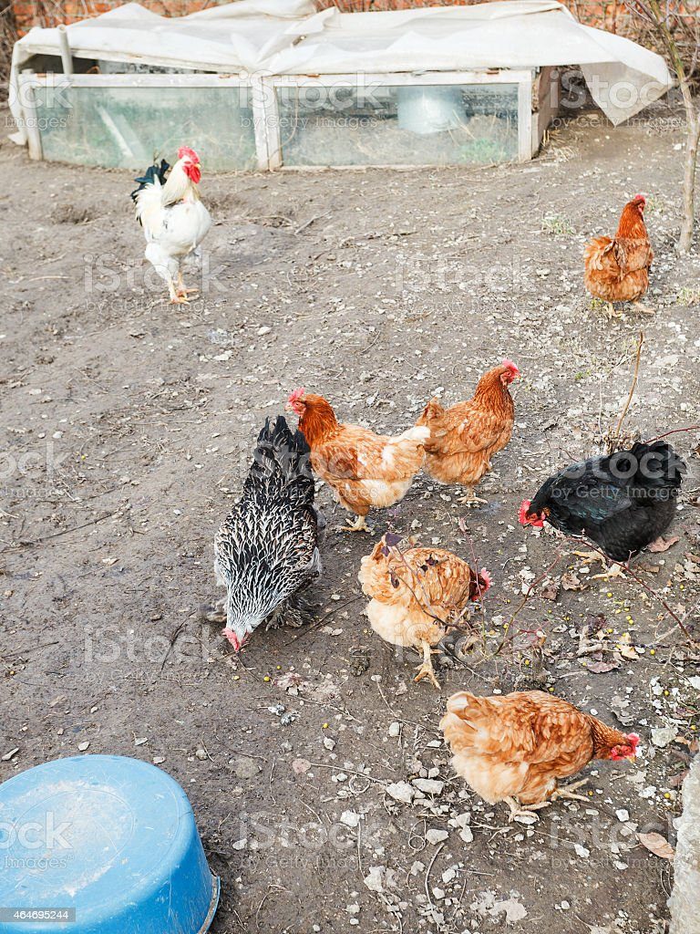 chicken flock on poultry yard stock photo