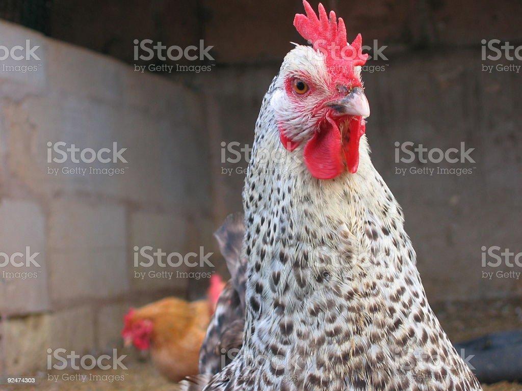 Chicken Fun royalty-free stock photo