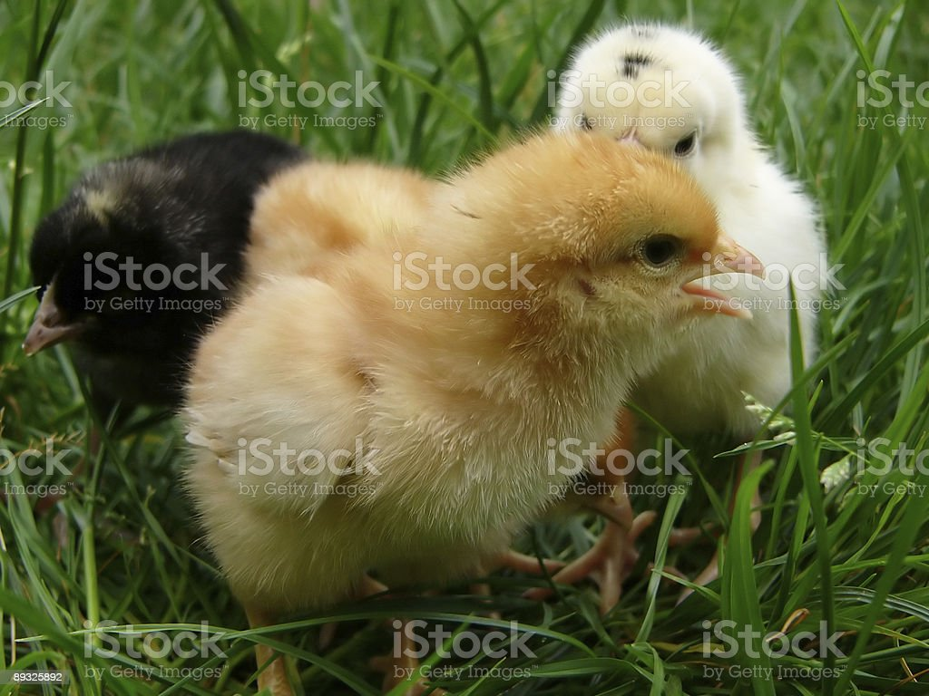 Chicken gamboge, whites and black royalty-free stock photo