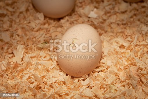 A chicken hatching from an egg.