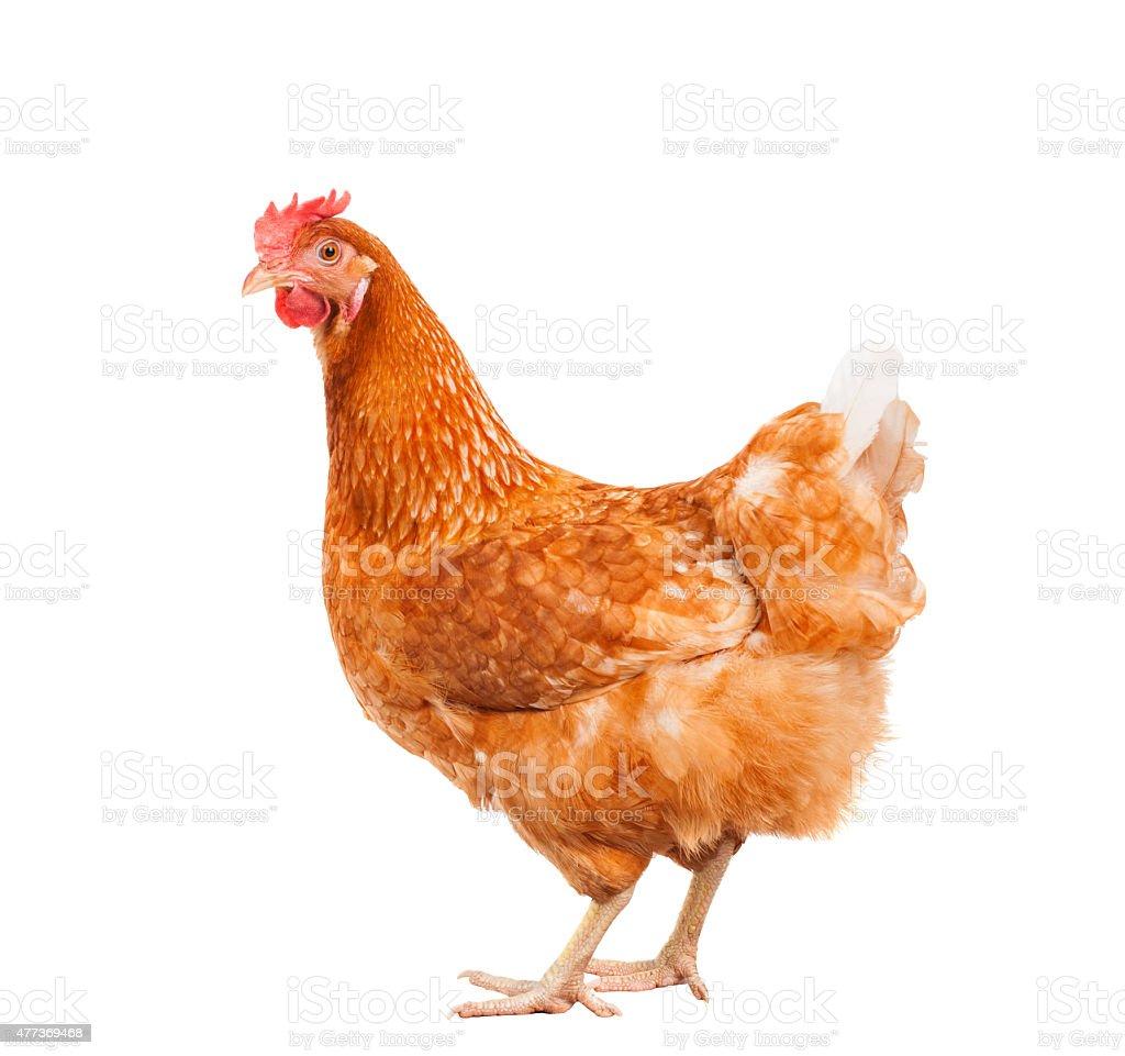 chicken hen livestock stock photo