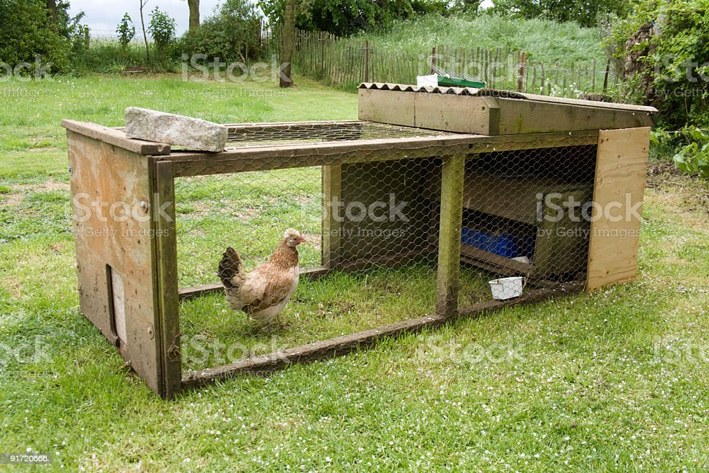 Chicken in a coup, Hampshire, England. stock photo