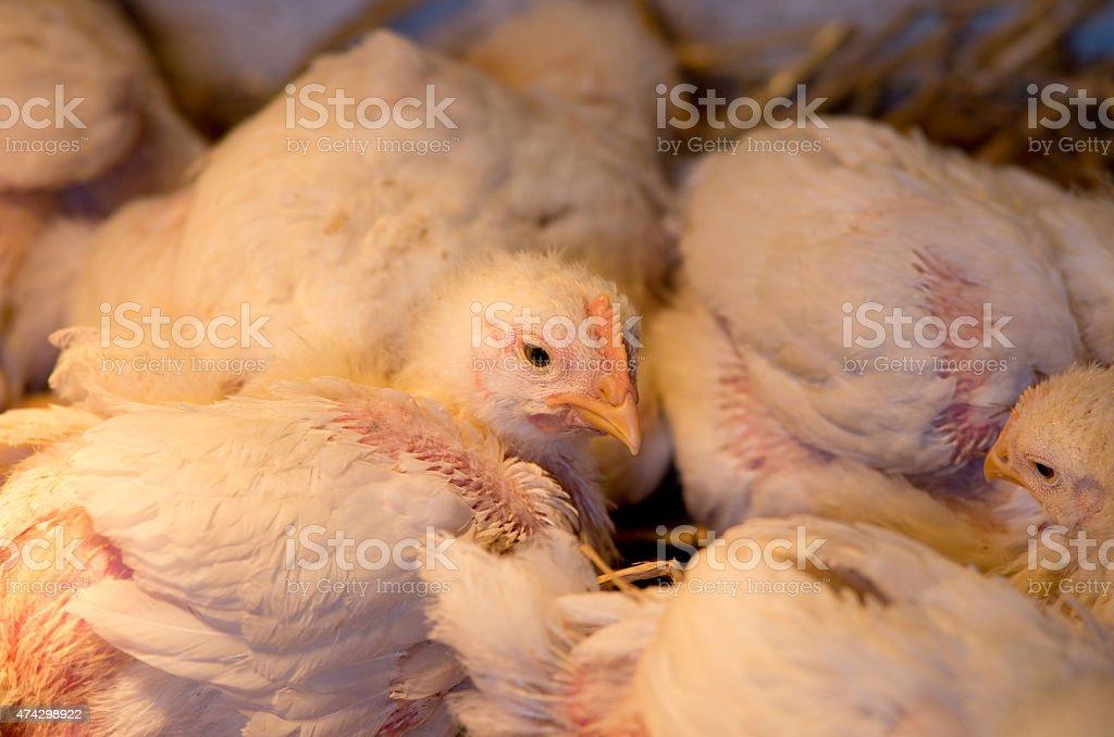 Chicken in barn stock photo