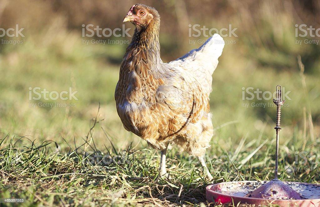 Chicken, in Molt stock photo