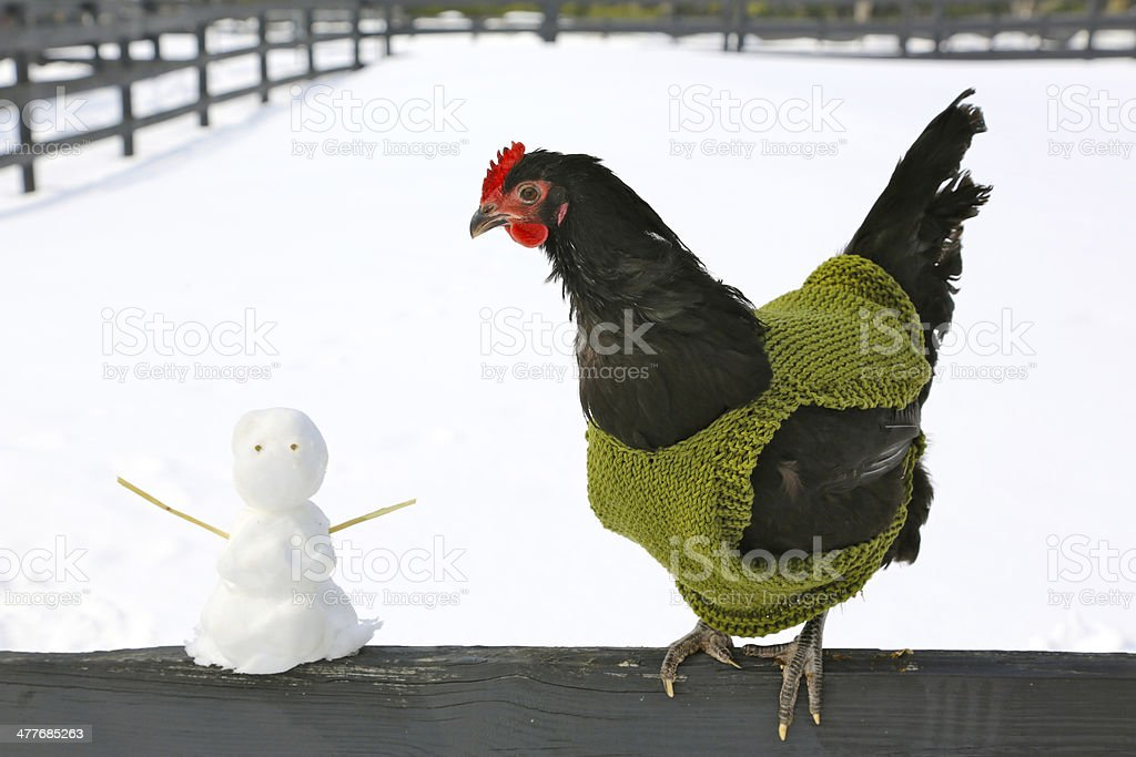 chicken in sweater standing next to snowman royalty-free stock photo