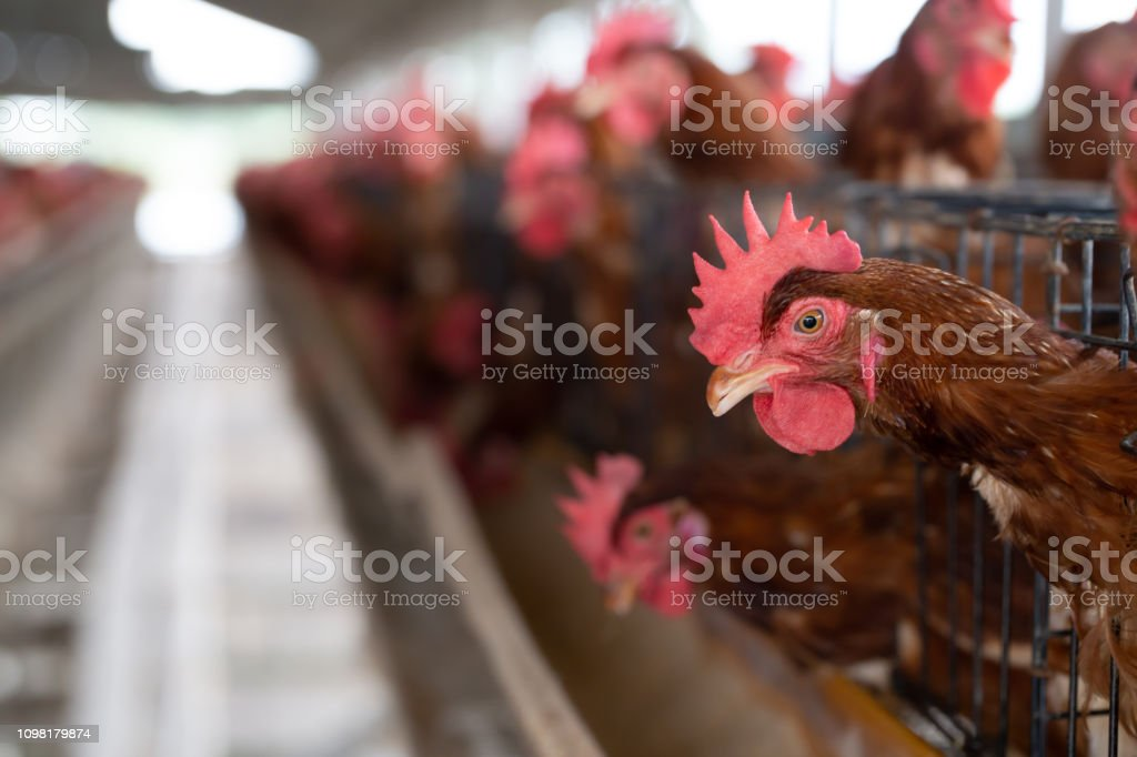 Chicken in the factory, Hens in cages industrial farm in Thailand, Animal and agribusiness, Food production and industry concept stock photo