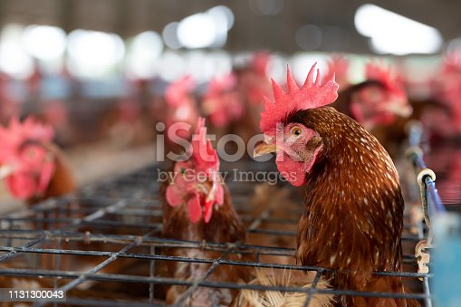 istock Chicken in the factory, Hens in cages industrial farm in Thailand, Animal and agribusiness, Food production and industry concept 1131300043