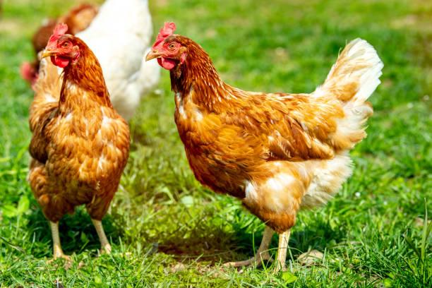 Hühnchen leben im Freien in Herde – Foto