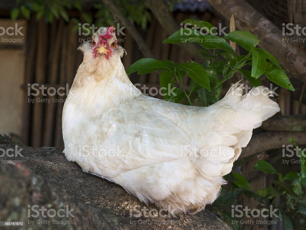 Chicken looking at camera stock photo