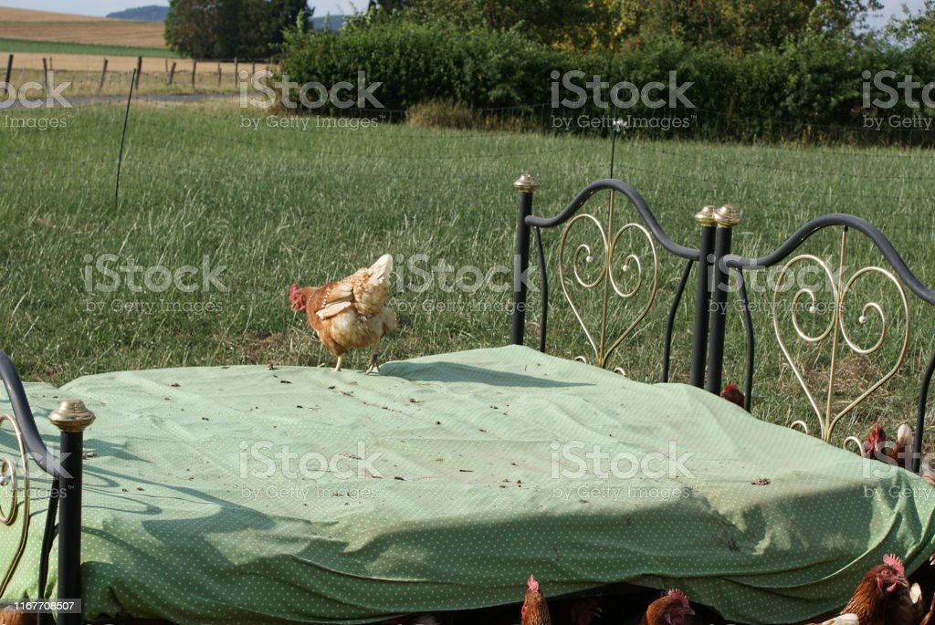 A chicken on the chicken bed, looks for the chickens