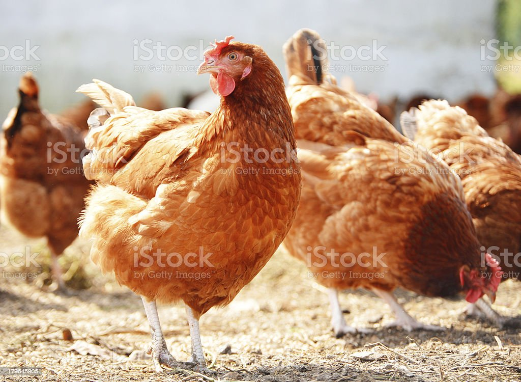 Chicken on traditional free range poultry farm stock photo