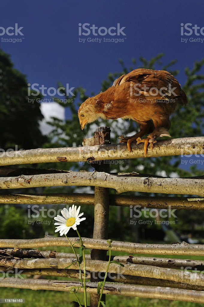 Chicken on Wicker Fence Looking Down at Flower royalty-free stock photo