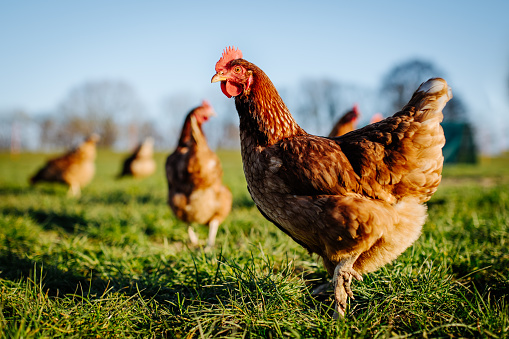 Chicken or hen on a green meadow. Selective sharpness. Several chickens out of focus in the background