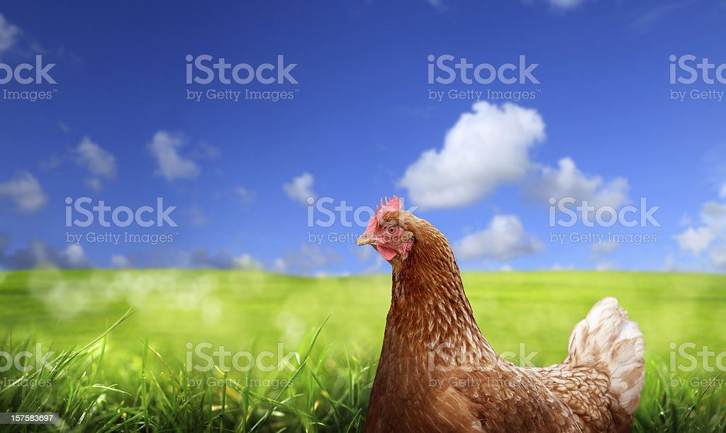 chicken over green landscape stock photo