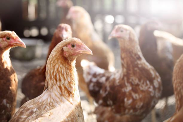 Chicken Red hens. poultry stock pictures, royalty-free photos & images