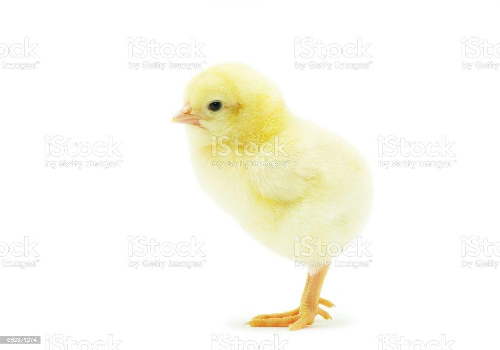 chicken royalty free stockfoto
