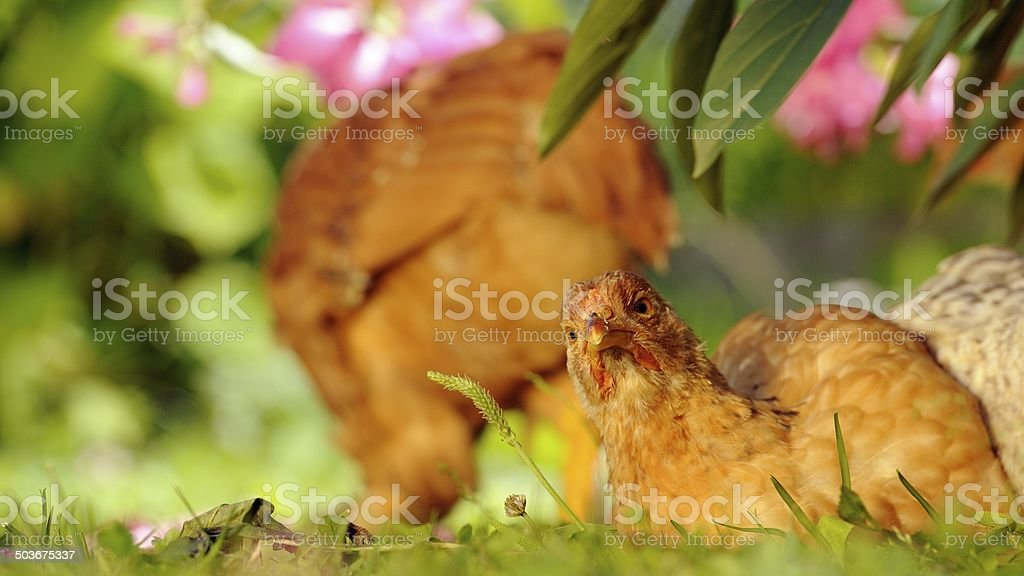 Chicken Resting on Green Grass royalty-free stock photo