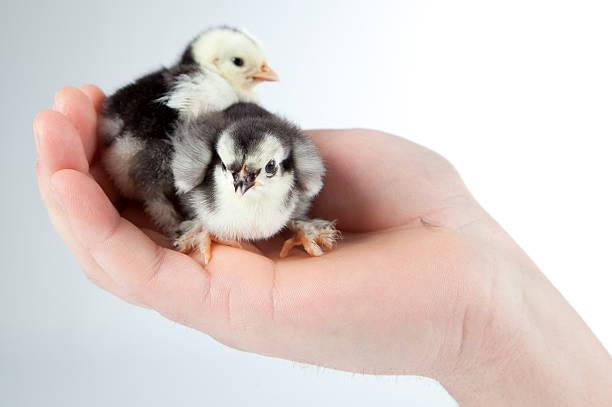 Huhn sitzt in einer hand – Foto