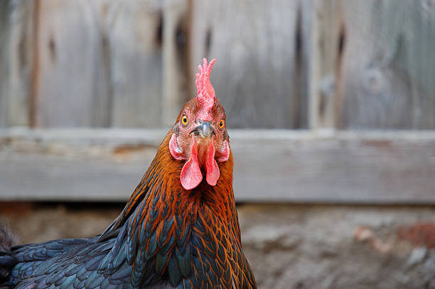 Best Chicken Face Stock Photos Pictures Amp Royalty Free