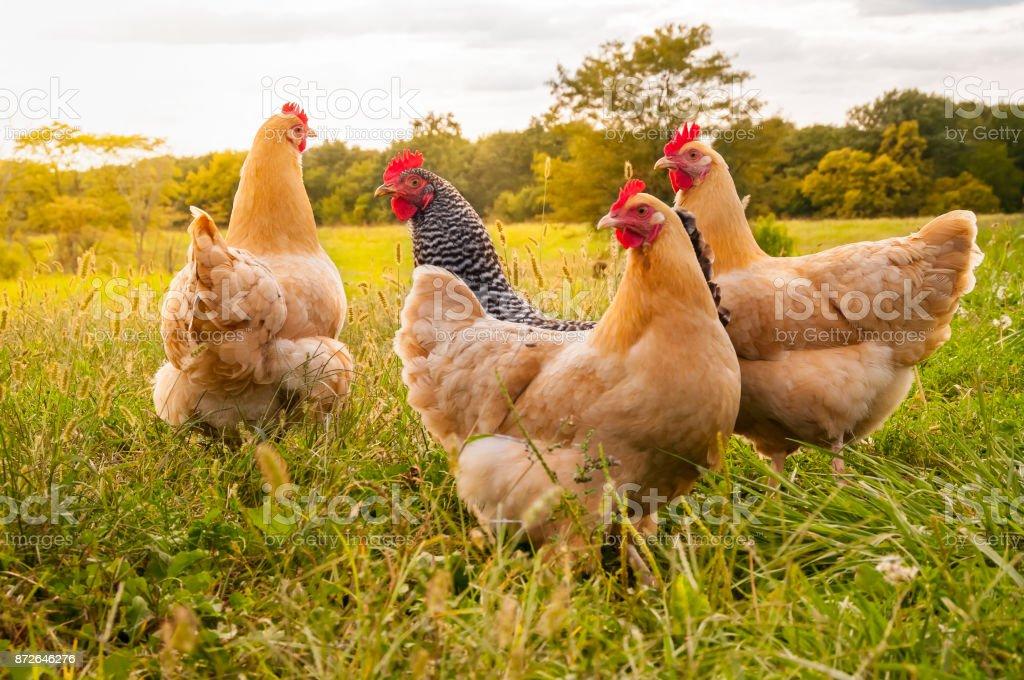 Chicken Sunset stock photo