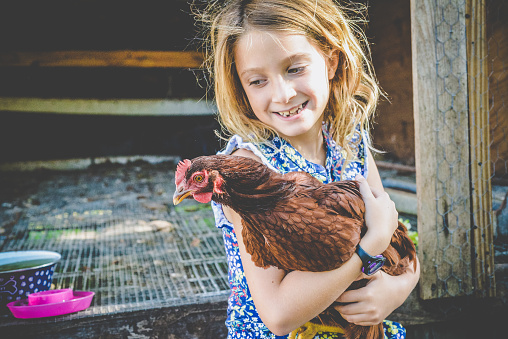 8 year old little girl holds a chicken in front of a chicken coop outdoors. Livestock and childhood