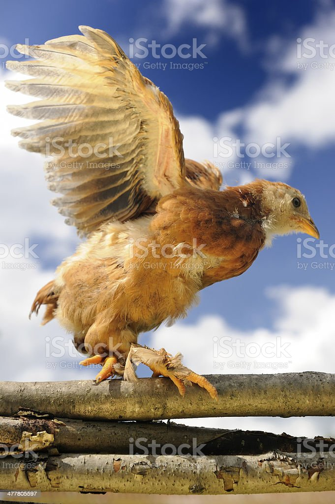 Chicken Walking on Wicker Fence with Wings Spread royalty-free stock photo