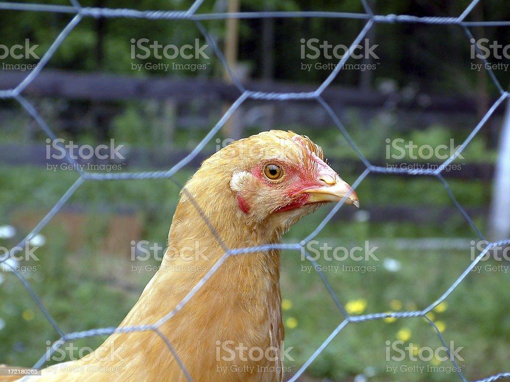 Chicken Wire stock photo