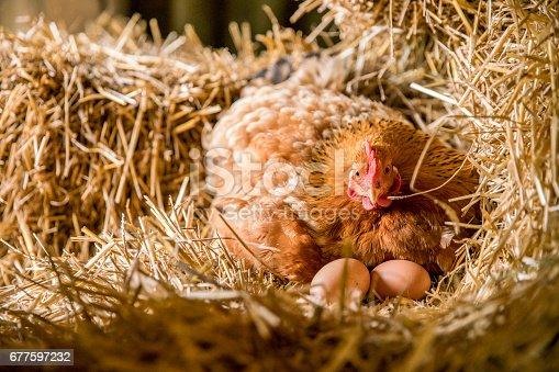 Chicken with eggs in nest box. Bird relaxing in animal nest. It is nesting in henhouse.