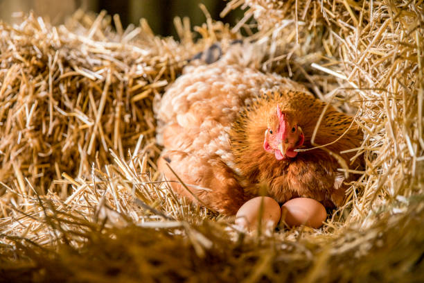 chicken with eggs relaxing on hay in coop - gallina foto e immagini stock