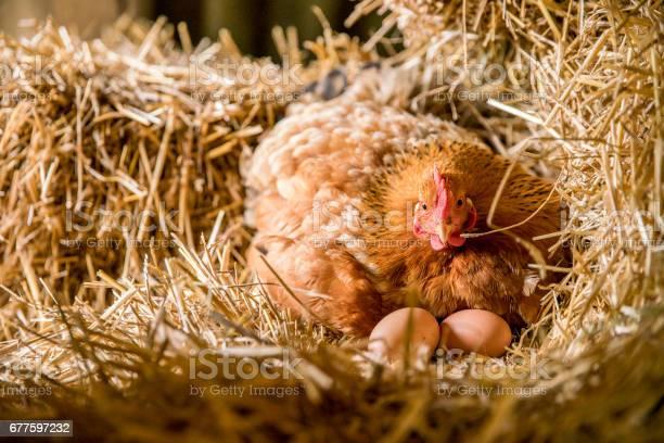 Huhn Mit Eiern Auf Heu Im Koopmodus Stockfoto und mehr Bilder von Ei