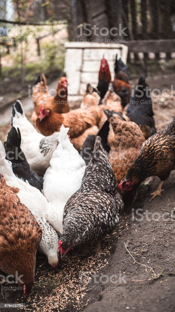 Chickens and rooster roam yard on a small country farm royalty-free stock photo