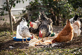 Chickens and roosters eating, life in the hencoop. Growing a healthy bird without GMO.