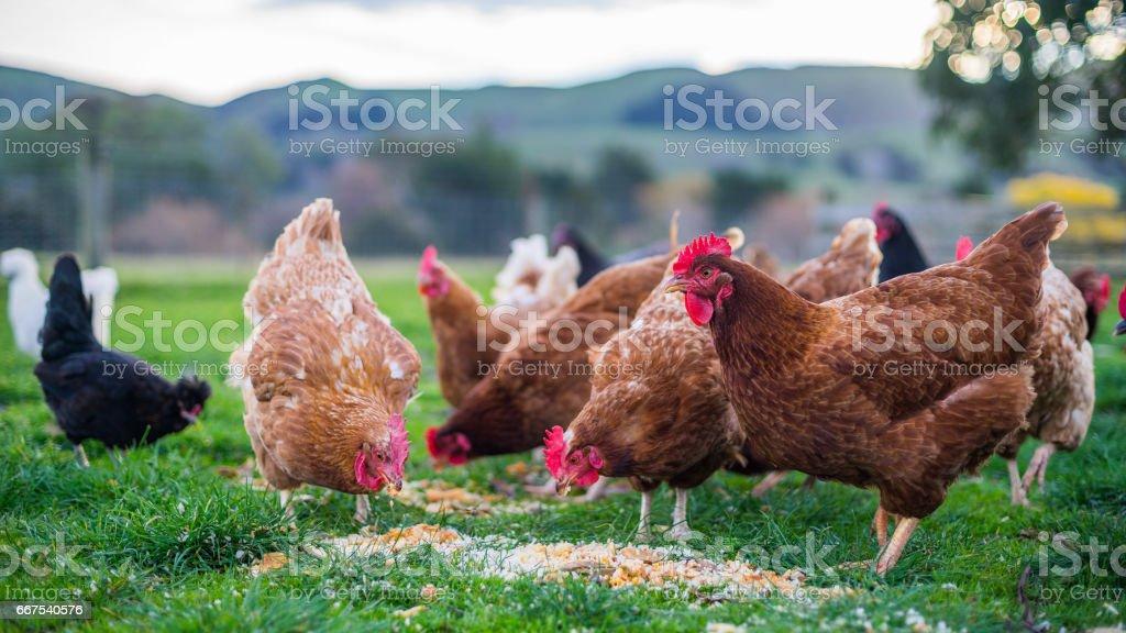 Chickens at Feeding time - Royaltyfri Djur Bildbanksbilder
