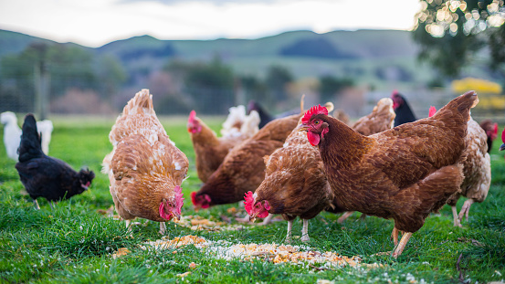 Chickens on a farm in New Zealand at a feeding time
