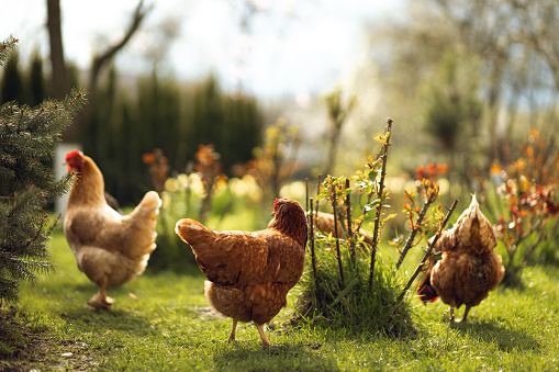 Chickens graze on green grass in the countryside during the daytime