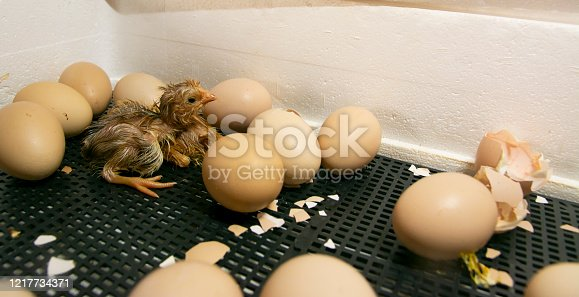 Chickens hatched in an incubator. Photo of an incubator with eggs and a newborn chicken.