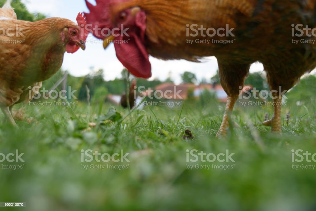 Chickens in a meadow zbiór zdjęć royalty-free