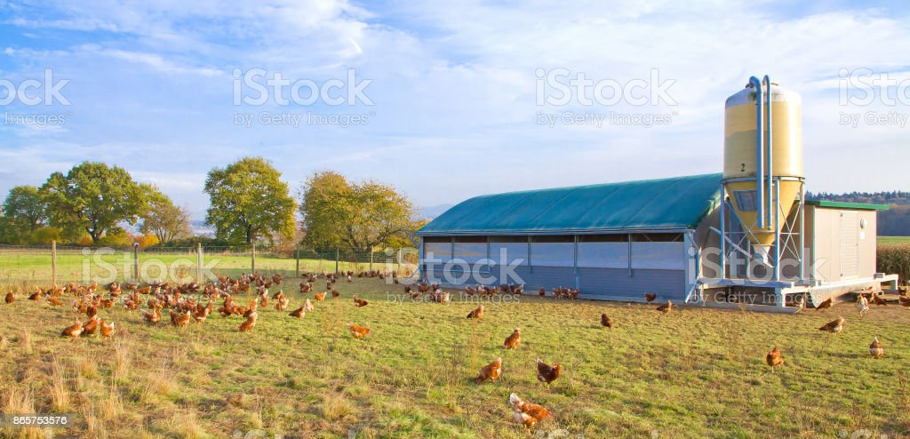 Chickens on a meadow stock photo