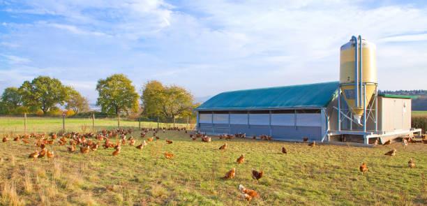 Hühner auf einer Wiese – Foto
