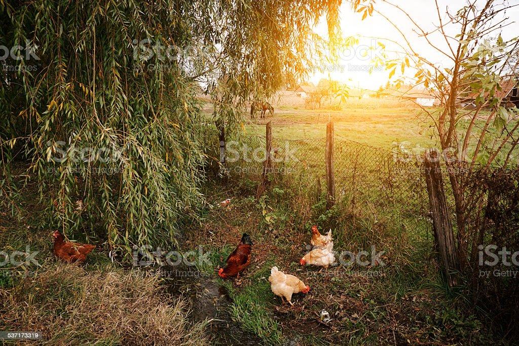 Hühner auf Bio-Bauernhof – Foto