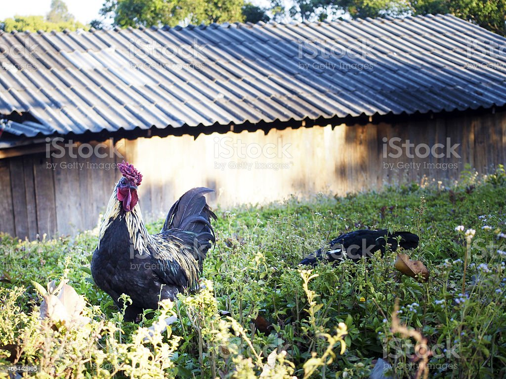 Chickens on the lawn royalty-free stock photo