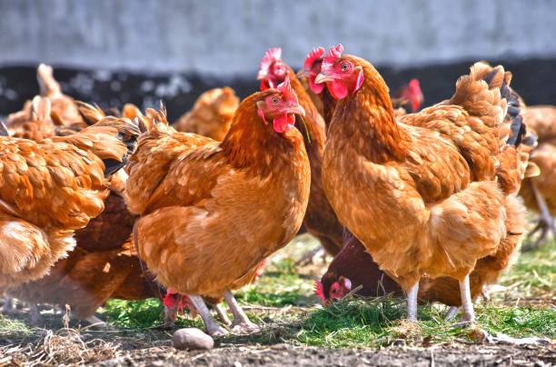 hühner auf traditionelle freilandhaltung geflügelfarm - henne stock-fotos und bilder