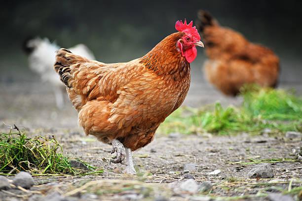 chickens on traditional free range poultry farm - frigående bildbanksfoton och bilder