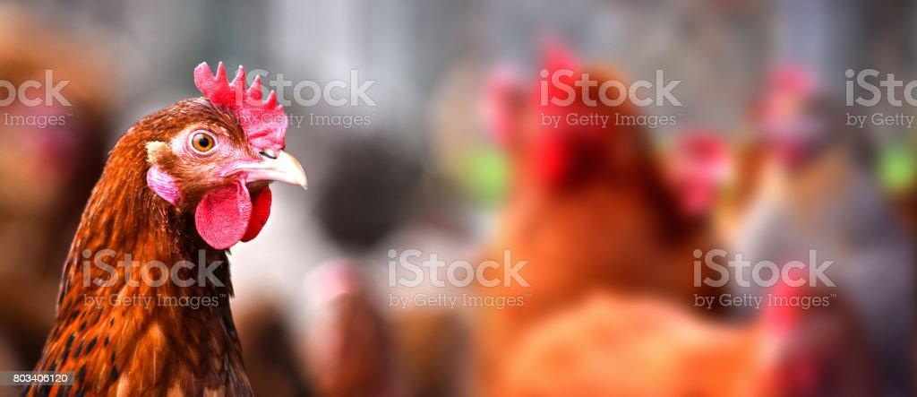 Galinhas na fazenda de aves tradicional liberdade - foto de acervo