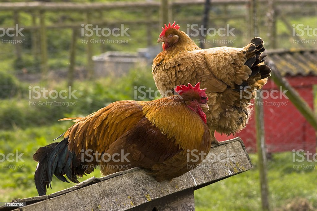 Chickens perching stock photo